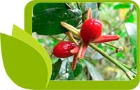 Катуаба Тричилиа, естествен афродизиак, напитката на любовта