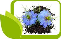 Как да приемаме маслото от черен кимион, нигела, полза и вреда