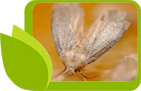 Екстракт от восъчен молец - мощен природен имуностимулатор