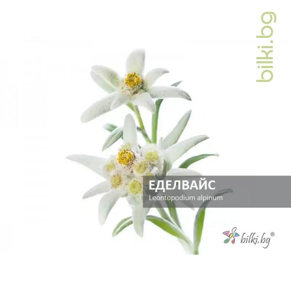еделвайс, leontopodium alpinum