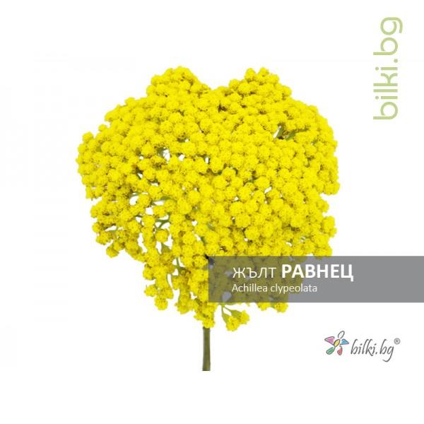 жълт равнец, achillea clypeolata