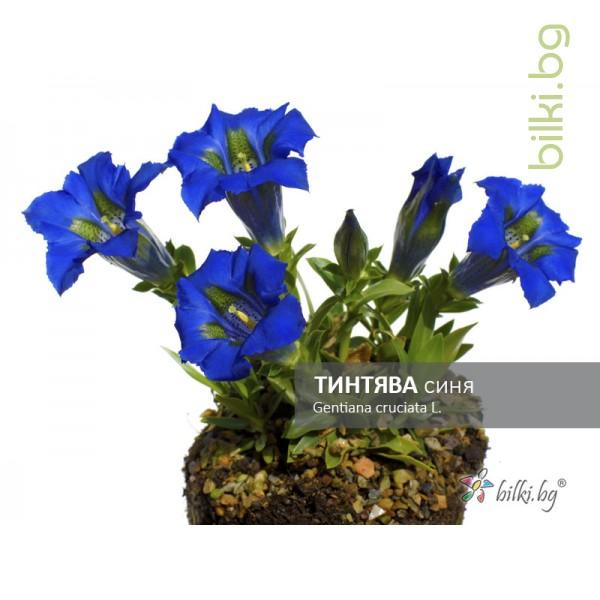 тинтява синя, gentiana cruciata l.