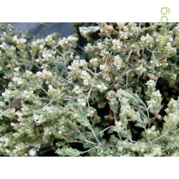 бял риган, origanum vulgare, бял риган цена,чурриков, чубрица