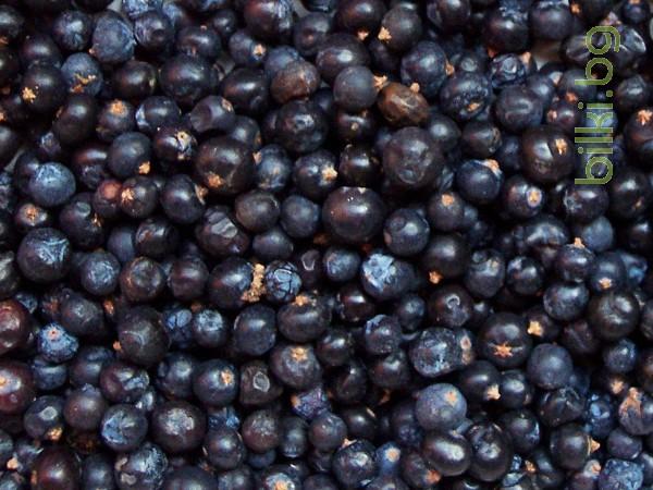 хвойна синя,, плод