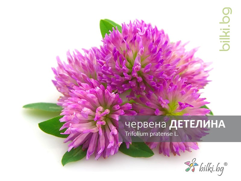 червена детелина, trifolium pratense l.