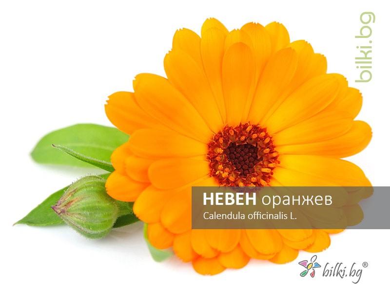 невен оранжев, calendula officinalis l.