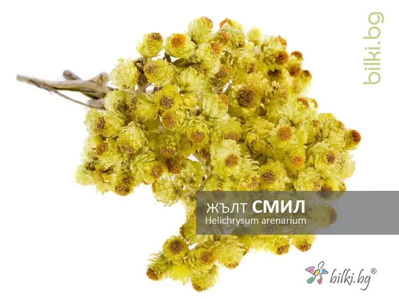жълт смил, helichrysum arenarium