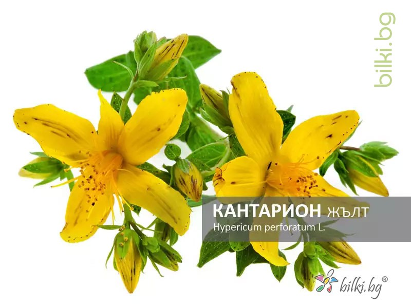 кантарион жълт, hypericum perforatum l.