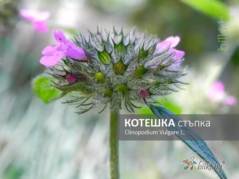 котешка стъпка, clinopodium vulgare