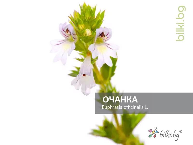 euphrasia officinalis, радост за очите,