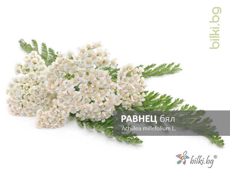 равнец бял, achillea millefolium l.
