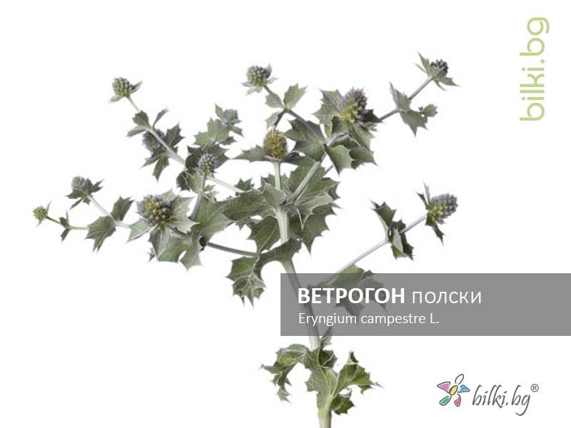 ветрогон полски, eryngium campestre l.