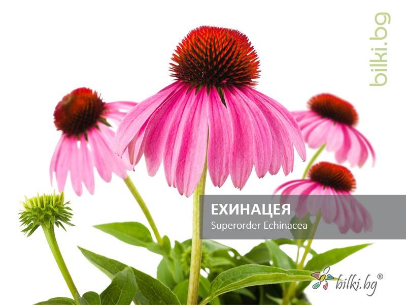 ехинацея, superorder echinacea