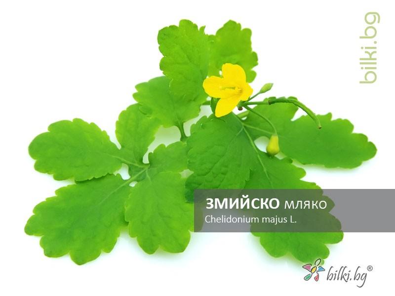 змийско мляко, chelidonium majus l.