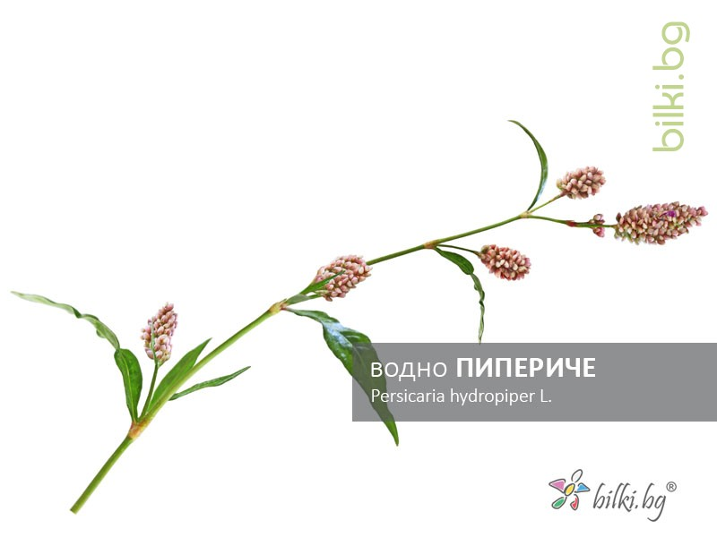 водно пипериче, persicaria hydropiper l.