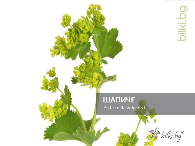 шапиче, alchemilla vulgaris l.