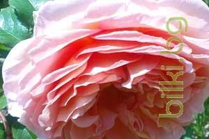 чай,портокал,роза,мента,розова вода,еротичен чай