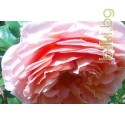 ЕРОТИЧЕН ЧАЙ - портокал , роза , мента