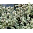 Бял риган , чубриков риган , Origanum vulgare L.