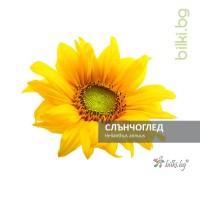 слънчоглед, helianthus annuus