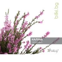 калуна, calluna vulgaris