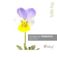 трицветна теменуга, viola tricolor l.