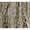 бряст кора, бряст, Ulmus glabra, бряст кора при възпаление на пикочния мехур и хрема