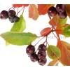 Crataegus pentagyna, чай от глог цена, глог плод ползи, глог черен билка