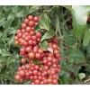 сарсапарила билка, Сарсапарила корен описание, Сарсапарила корен цена