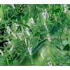 андрографис, Andrographis paniculata, Андрографис за имунитет
