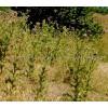 Silybum marianum (L.) Gaertn., milk thistle