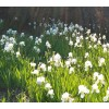 Iris Germanica, bearded iris