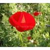 Papaver rhoeas, Poppy seed