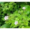 Geranium robertianum, herb Robert, red robin