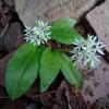 Allium ursinum, wild garlic, див чесън ползи, див чесън приложение, левурда билка за кръвно