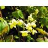разконен козел билка, Epimedium brevicornum
