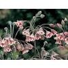 самардала, меден чесън, Nectaroscordum siculum, Allium siculum Ucria