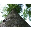 йохимбе, дърво