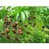 сапунени ядки, Sapindus saponaria, сапунени ядки цена, сапунени ядки приложение