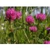 червена детелина цвят, Trifolium pratense, червена детелина чай