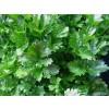 целина , целина лист, кервиз лист , apium graveolens, целина приложение