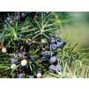 хвойна синя, смрика, плод