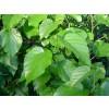 черница при кожни заболявания, черница лист подобрява обмяната на веществата, черница лист противотуморно