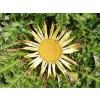 решетка, решетка корен, Carlina acanthifolia All., билка решетка за хемороиди