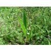 теснолист жиловлек, живовлек, лист