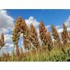 метла, Panicum miliaceum, Захарна метла, Сорго семена цена, Метлено семе за бъбреци