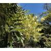 Styphnolobium japonicum, Japanese pagoda tree, Sophora japonica