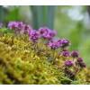 мащерка билка, бабина душица, ронена, лист, Thymus serpyllum, мащерка подправка, мащерка чай, мащерка цена