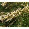 Chaste tree, Vitex agnus castus, seed