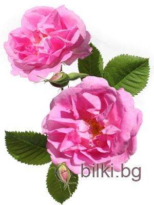 Българска роза, Маслодайна роза